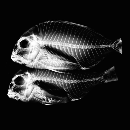 Korea_Fishes_XRay copy